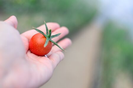 Picking tomato in the field Stock Photo