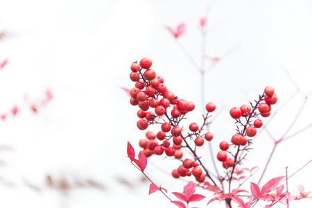Red Rowan Berries Stock Photo