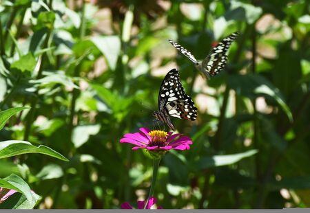little butterfly find food on flower in morning