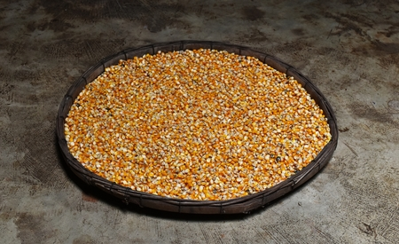 many dried corn seed in old winnowing basket on dirty cement ground for background
