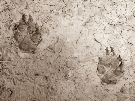 dog foot print on dry soil for background