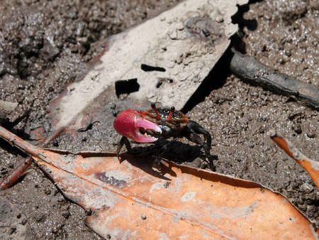 Colorful Fiddler Crab emerging from its burrow and walking on mudflats during low tide in mangrove forest, Southern Thailand. 版權商用圖片