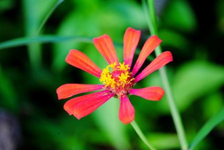 radiating: Red zinnia fiore petali a raggiera piena fioritura