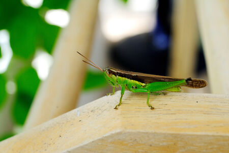 caelifera: The grasshopper is an insect of the suborder Caelifera in the order Orthoptera. Stock Photo