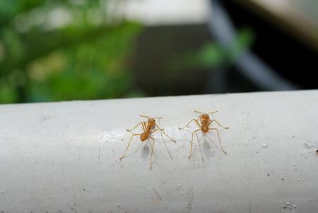 casi: Las hormigas han colonizado casi cada masa de tierra en la Tierra. Foto de archivo