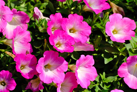 harsh: Petunias can tolerate relatively harsh conditions and hot climates. Stock Photo