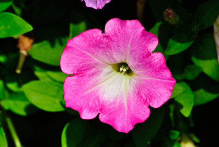 tolerate: Petunias can tolerate relatively harsh conditions and hot climates. Stock Photo