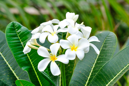 Plumeria species may be propagated easily from cuttings of leafless stem tips in spring. Stock Photo