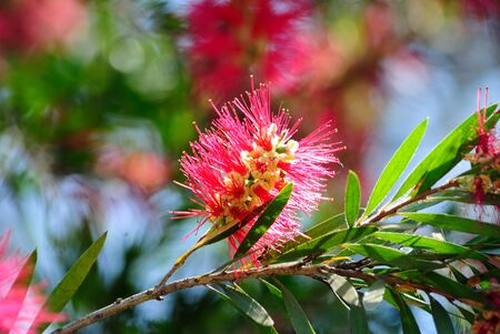 resembling: Because of their cylindrical, brush like flowers resembling a traditional bottle brush. Stock Photo