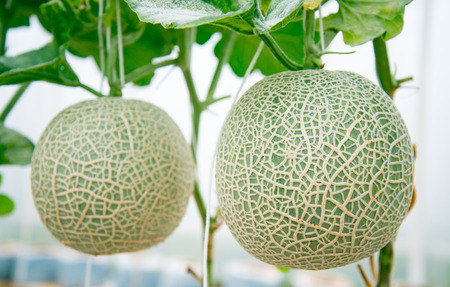 melons: Melons in a garden