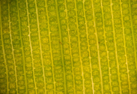 stoma: Stomata in the plant leaf