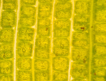 epidermis: Stomata in the plant leaf