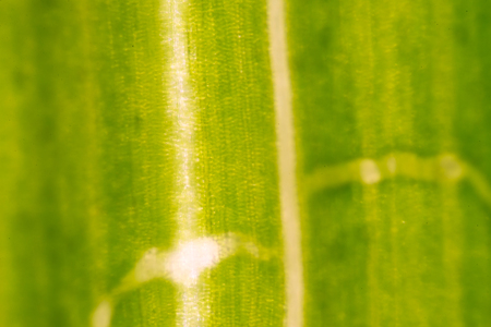 micrograph: micrograph of green leaf with breathing cells stomata