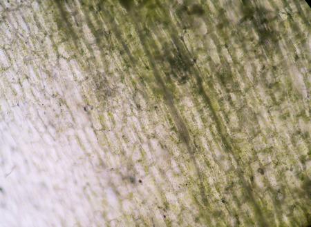 stoma: Gli stomi nella pianta a foglia