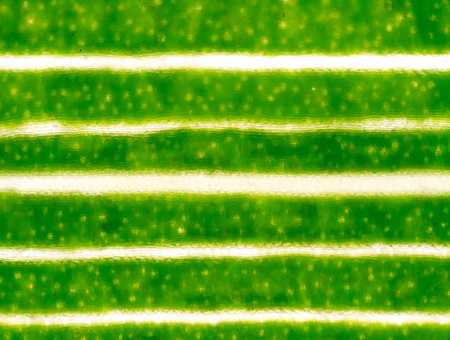 microscopic: microscopic view of the leaf surface showing plant cells.