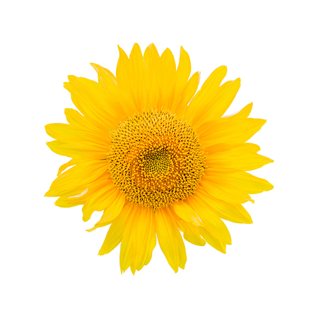 bright yellow: Sunflower isolated on white background