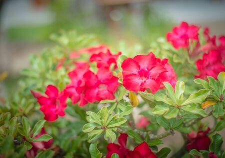 desert rose: Desert rose flowers