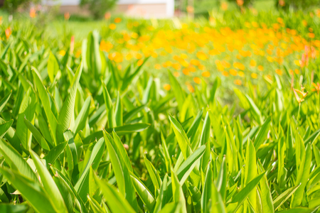 bloom bird of paradise: Blurred yellow Flower