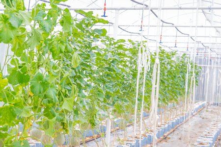 supported: Cantaloupe melons growing in a greenhouse supported by string melon