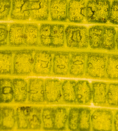 vacuole: A microscopic view of the leaf surface showing plant cells. banana leaf
