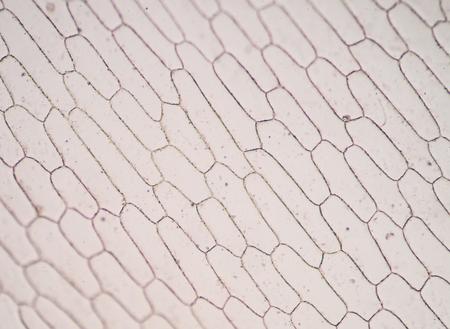 nuclei: Cells of the onion skin - Allium cepa