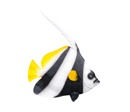 bannerfish: fish on white background. Stock Photo