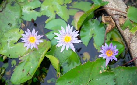 waterlily: This beautiful waterlily or lotus flower