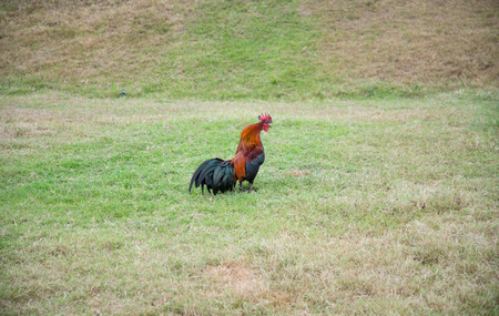 behavioral: A gamecock is a type of rooster and game fowl, a type of chicken with physical and behavioral traits suitable for cockfighting.