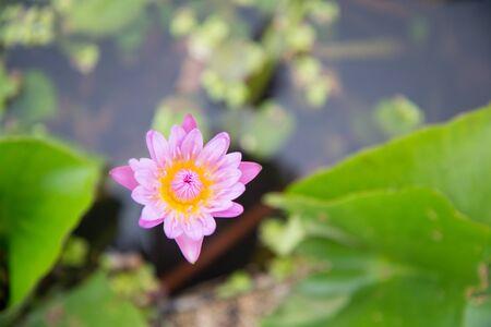 lotus flower: Lotus