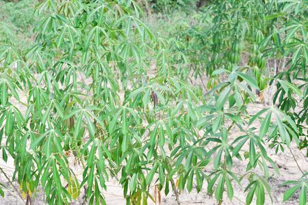 planta de maiz: Hojas de la planta de yuca. La yuca es la tercera fuente de hidratos de carbono de los alimentos en los trópicos después del arroz y el maíz.