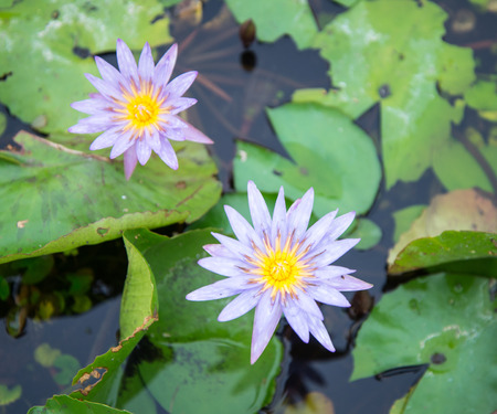 flor de loto: Lotus