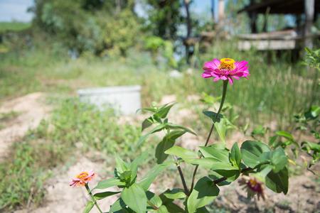 cav: Zinnia flower (Zinnia violacea Cav.) Stock Photo
