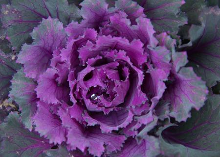 brassica: a cauliflower; Brassica oleracea. Stock Photo