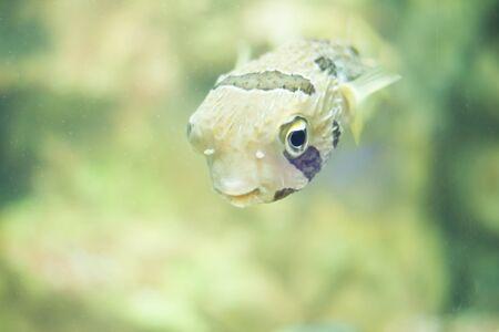 tetrazona: fish