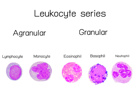 Leukocyte series,white blood cells series.lymphocyte, monocyte,Eosinophil,basophil,neutrophil.