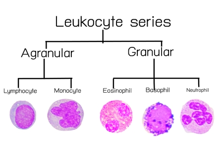 eosinophil: Leukocyte series,white blood cells series.lymphocyte, monocyte,Eosinophil,basophil,neutrophil.
