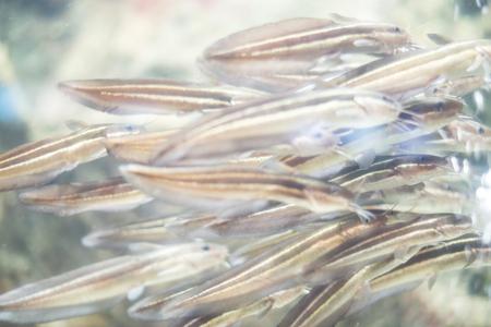 firefish: underwater world fish Stock Photo