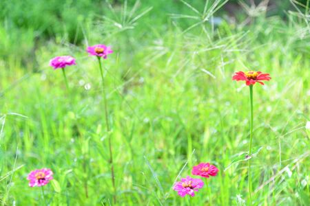 zinnia: Zinnia Flower Field Background