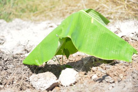plantando un arbol: Establecimiento de un árbol.