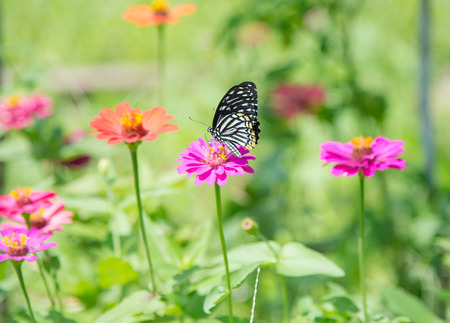butterflies flying: butterflies flying in zinnia garden. Stock Photo