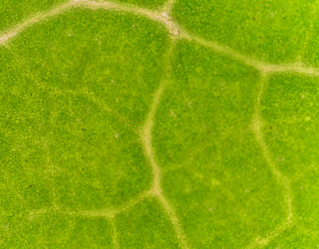 vacuole: microscopic view of the leaf surface showing plant cells.