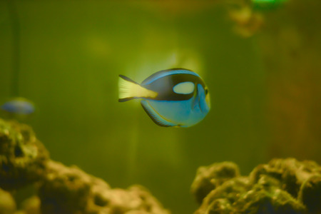 firefish: blue fish in water.