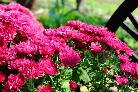 Chrysanthemum flowers background in nature.Dendranthemum grandifflora