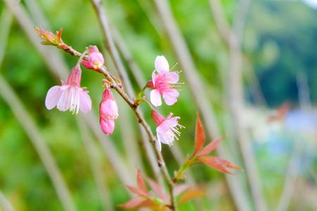 chaingmai: Wild Himalayan Cherry