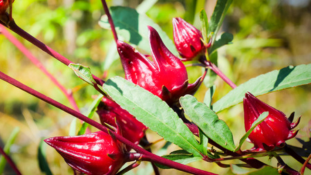 Red roselle plants in nature. Stock Photo
