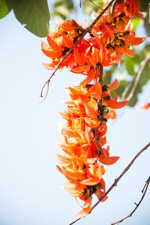 Orange Bastard Teak flowers on nature  background.