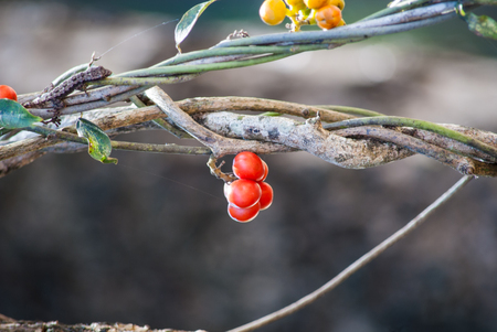 red fruit Tiliacora triandra in nature.
