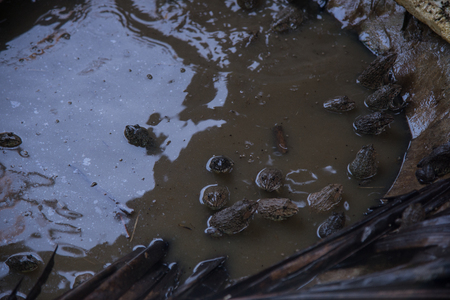 Group of frogs in pool.Agriculture concept. Stock Photo
