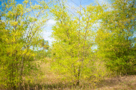 Green ba,boo plants on blue sky background.