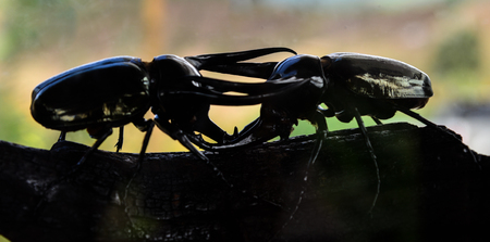 Close up Black Dynastinae on blur backgroun.